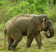وفاة روهنغي في أراكان دهسا على أقدام الفيلة البرية